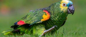 Amazone-aestiva Casoria